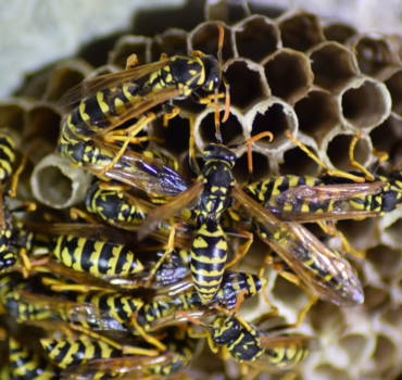 Wasps / Hornets